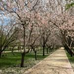 Amendoeiras em flor em Madri