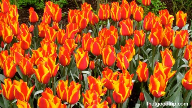 parque das tulipas na holanda: visita imperdível