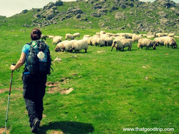 Ovelhas nos Pirineus Caminho de Santiago