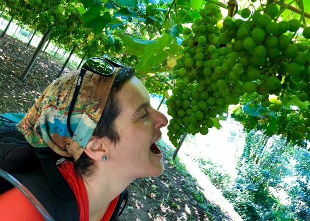 Variante Espiritual do Caminho Português: uvas pelo caminho em agosto